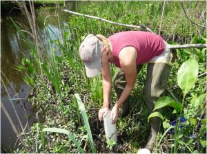 Collecting soils from a suburban tidal creek (Jacksonville, FL) to test the effects of stormwater pulses on soil carbon dynamics.