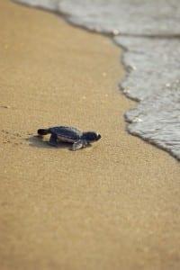 sea-turtle-tracking-manicure-base-coat-w352
